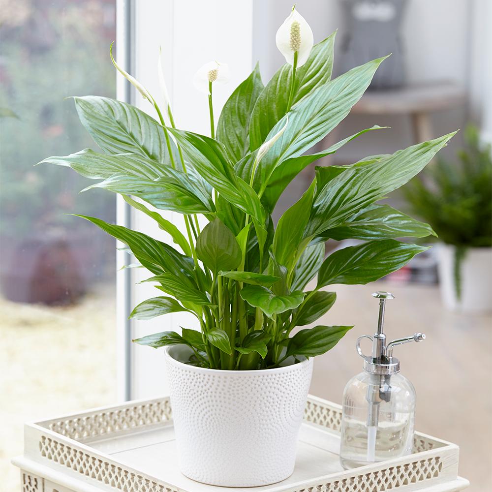 indoor plants low light clean air