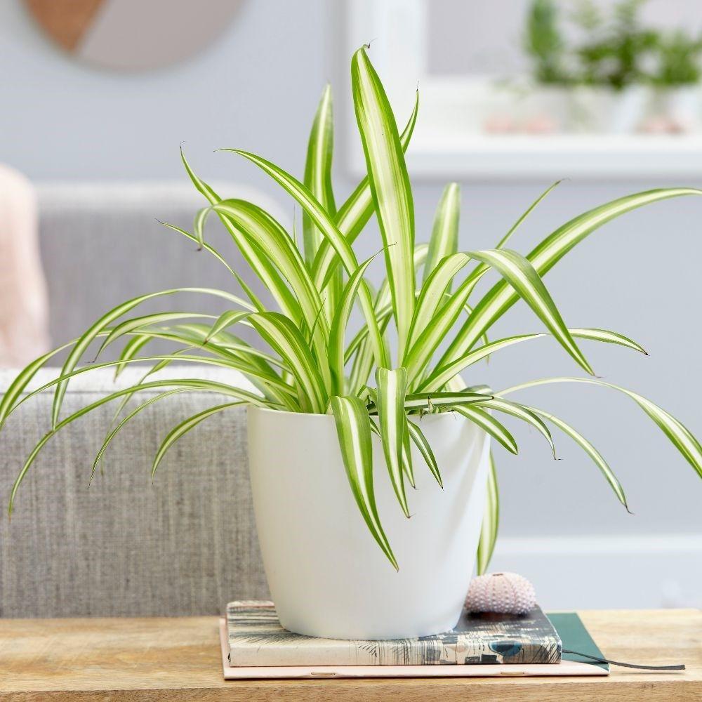 air plants low light